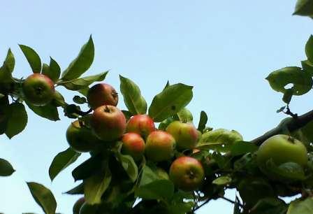 Äpplen på bloggen