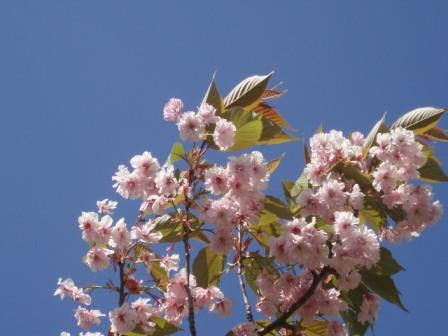 Rosa körsbärsblom Livsaptit