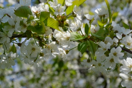 Äppelblom Solhaga Livsaptit