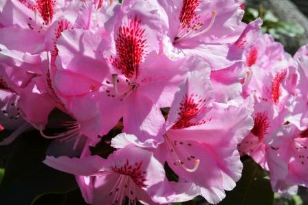 Rododendron på Majornapromenad Livsaptit