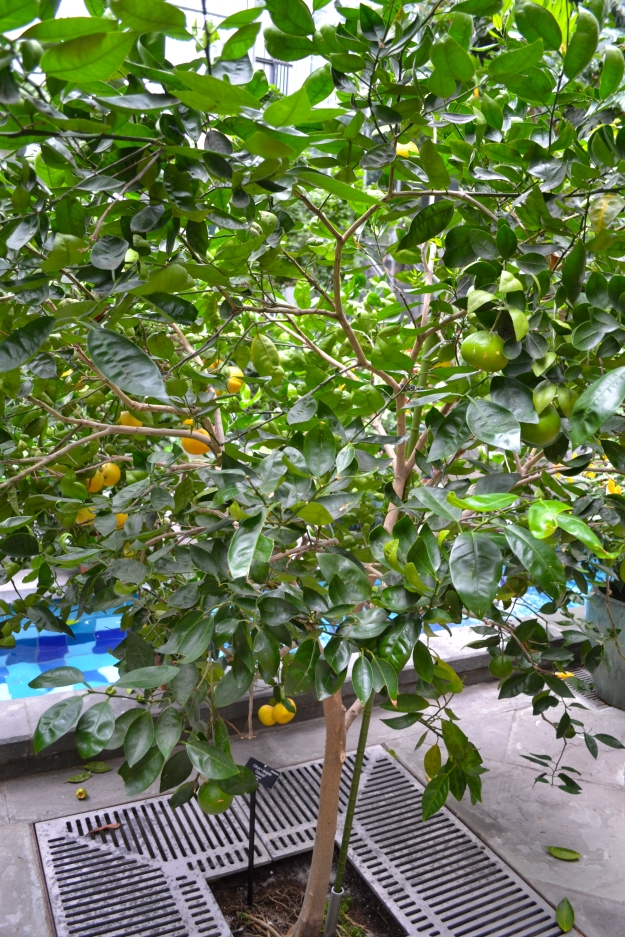 Citronträd i United States Botanic Garden, Washington D.C., Resedagbok, USA 2015, Livsaptit